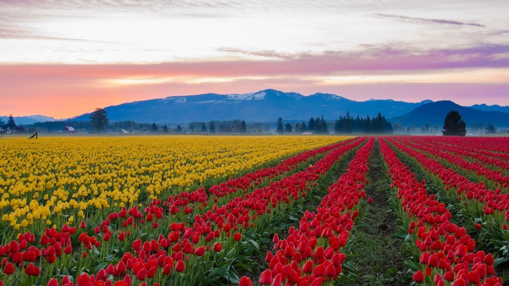 Colourful tulips in the large fields of Skagit Valley, Washington state, USA