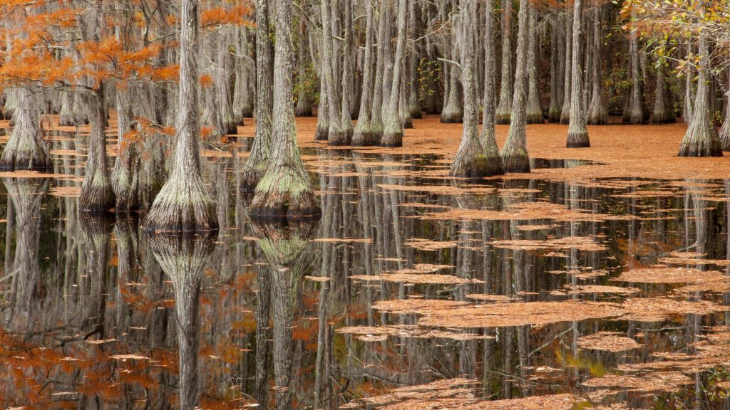 Fall cypress trees, George L. Smith State Park, Georgia, USA