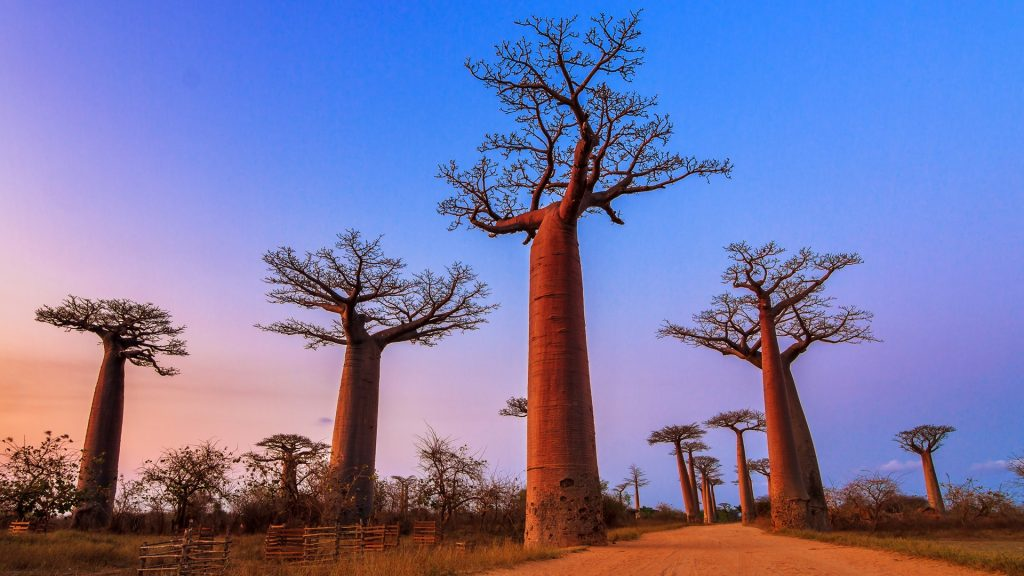 Beautiful Baobab trees after sunset at the avenue of the baobabs in Madagascar