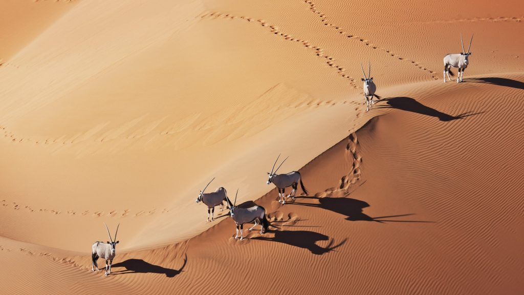 Gemsboks (Oryx gazella) in Namib desert, Namib-Naukluft National Park, Namibia