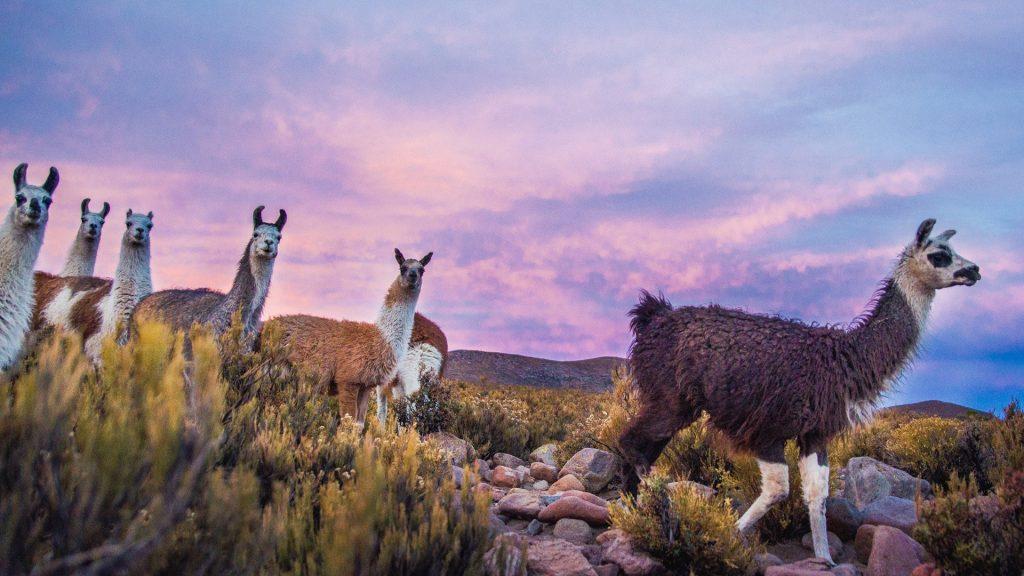Group of llamas walking at the foot of Tunupa volcano at sunset, Potosi, Bolivia