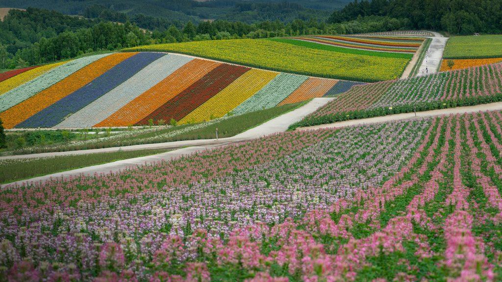 Flower fields, Biei, Hokkaido, Japan
