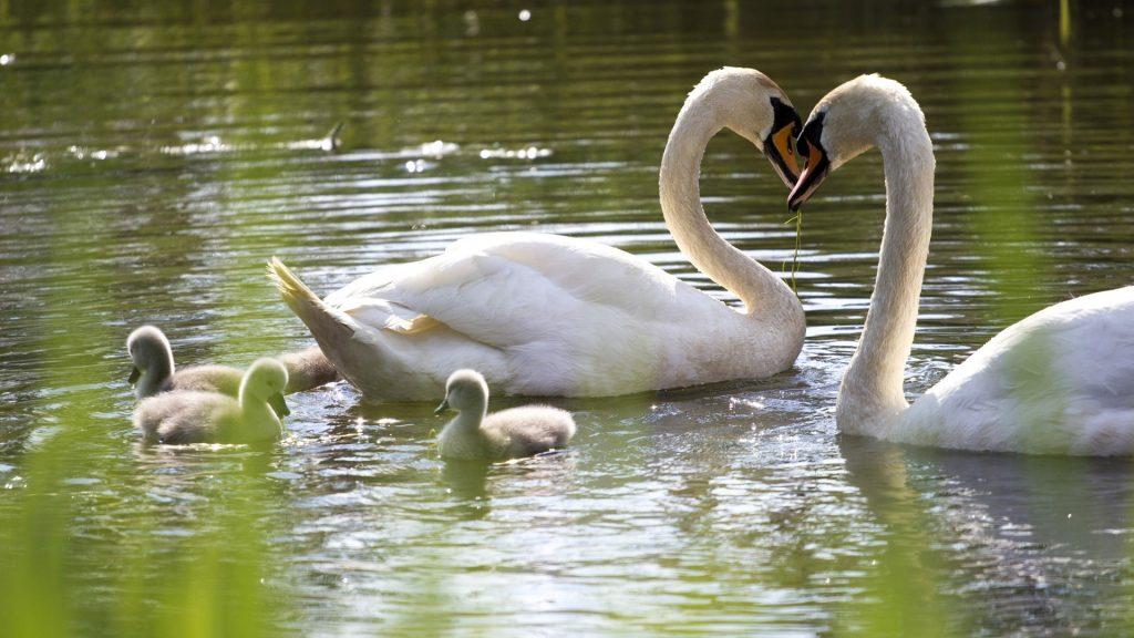 Swans family, swan heart