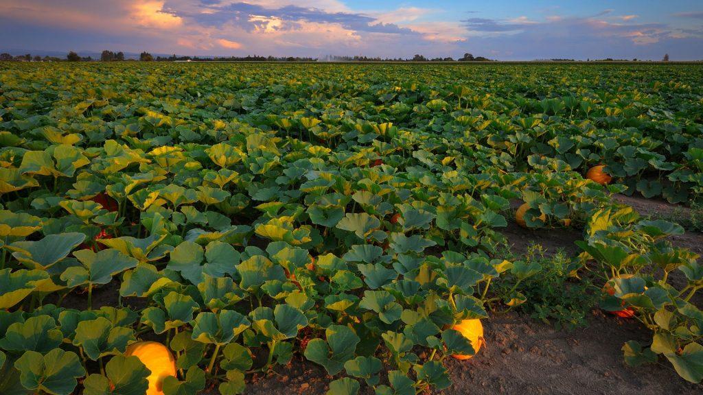 Pumpkin Patch, Marion County, Oregon, USA