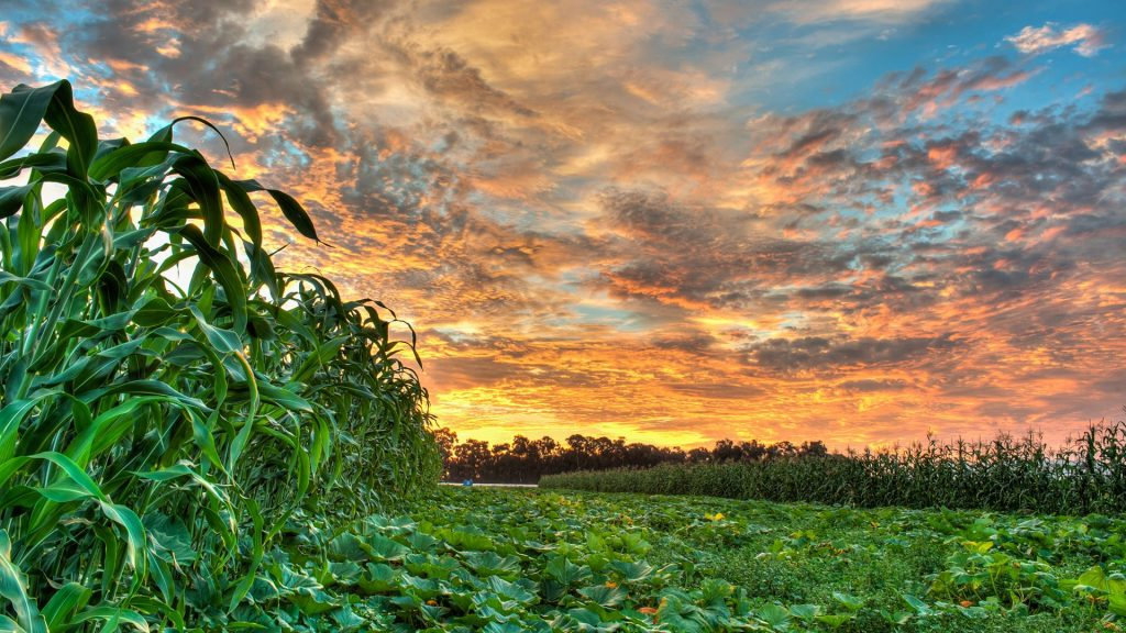 Vibrant sunrise sky over pumpkin patch spread between rows of corn